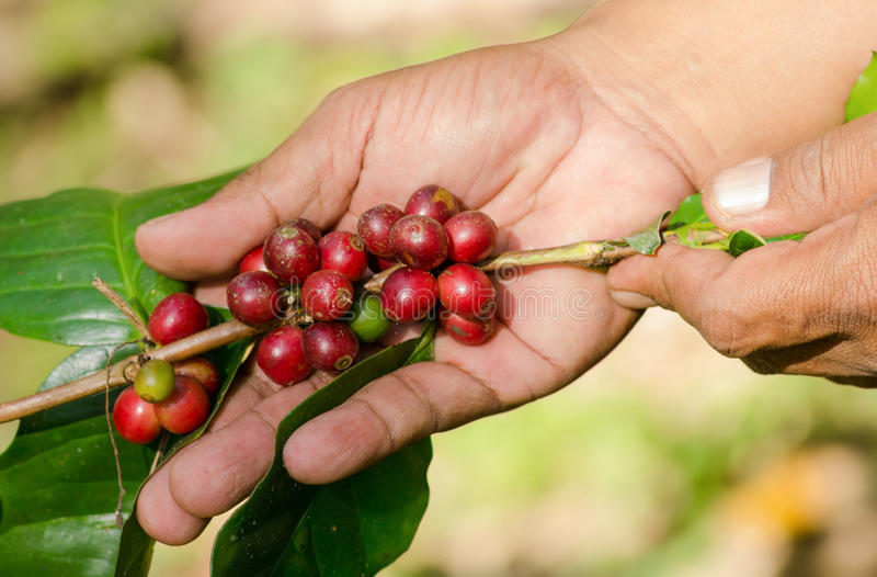 Bacche di caffè Arabica sulle mani fotografia stock