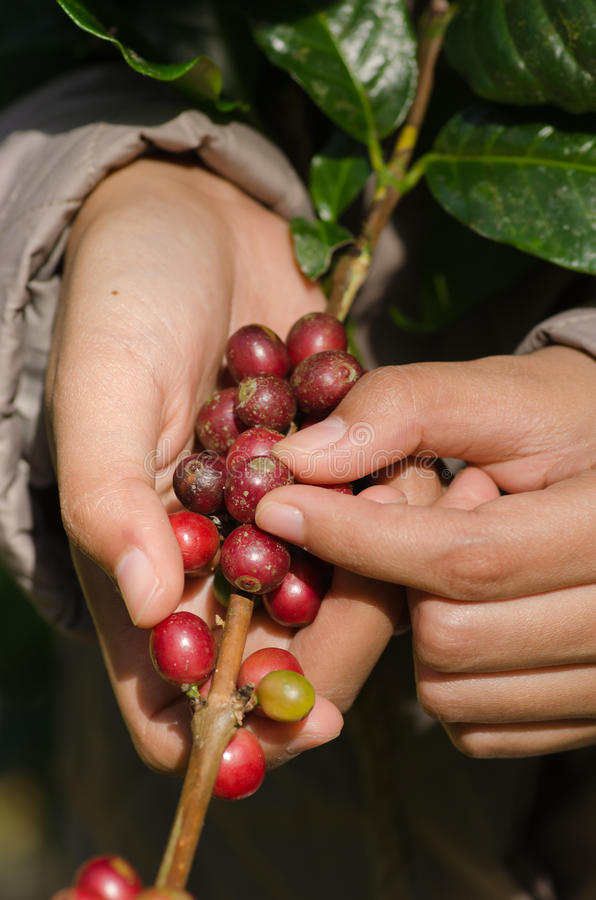 Bacche di caffè Arabica sulle mani fotografia stock libera da diritti
