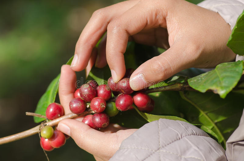 Bacche di caffè Arabica sulle mani fotografie stock libere da diritti