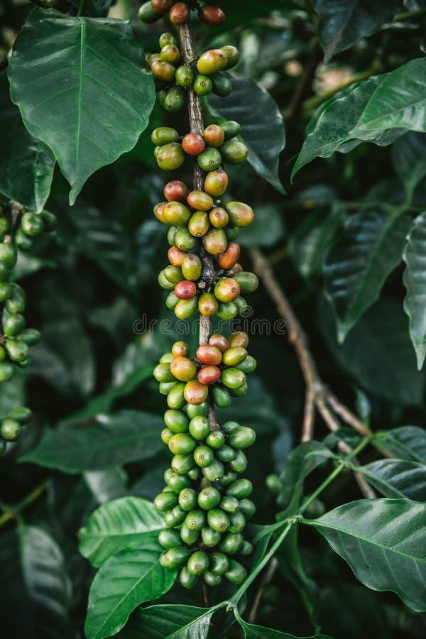 Bacche di caff? Arabica verdi e rosse dalla pianta del caff? nel villaggio di Akha di Maejantai sulla collina in Chiangmai, Taila immagini stock