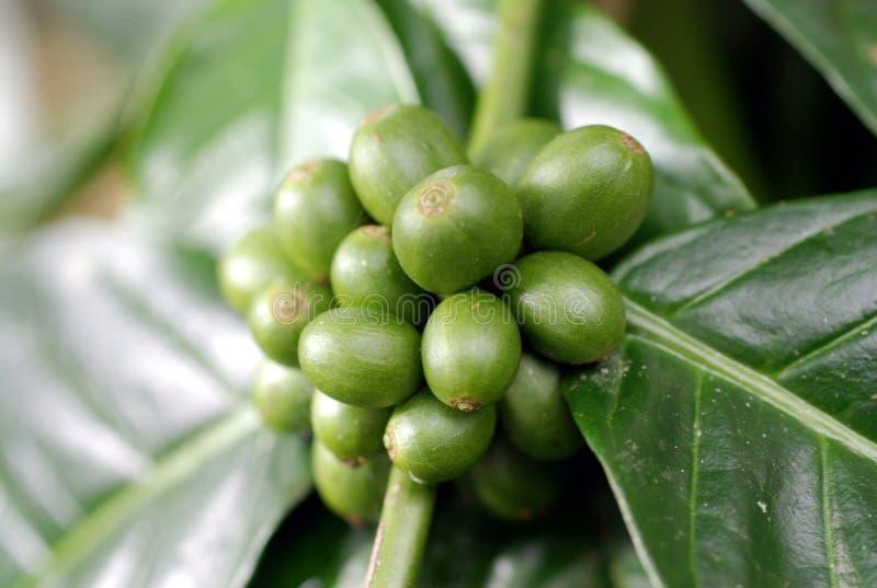 Bacche di caffè verdi fotografia stock libera da diritti