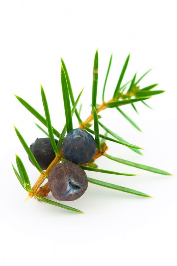 Bacche di ginepro (juniperus communis). immagine stock