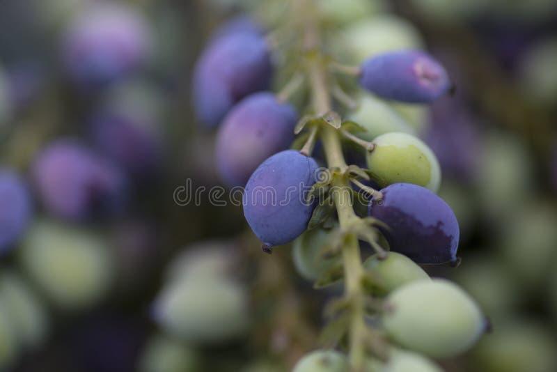 Bacche di Mahonia nella primavera fotografia stock libera da diritti