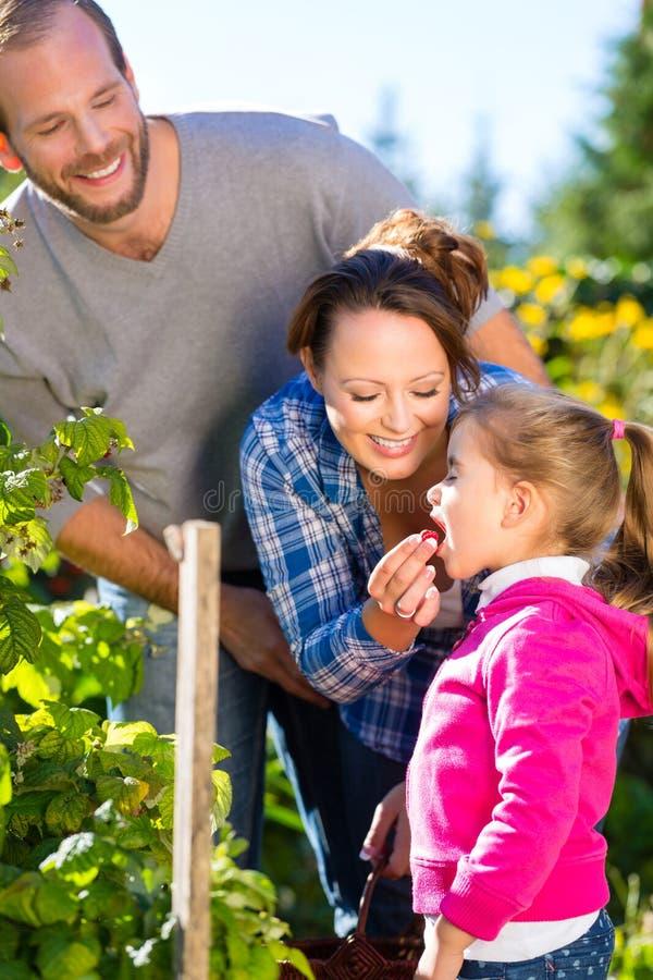 Bacche di raccolto della famiglia in giardino immagine stock libera da diritti