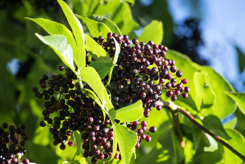 Bacche di sambuco nere & x28; Nigra& x29 del Sambucus; fra le foglie sull'arbusto fotografia stock