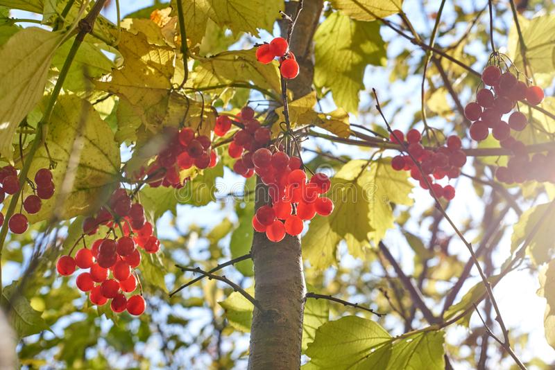 Bacche di viburno che appendono su un albero con le foglie immagini stock libere da diritti