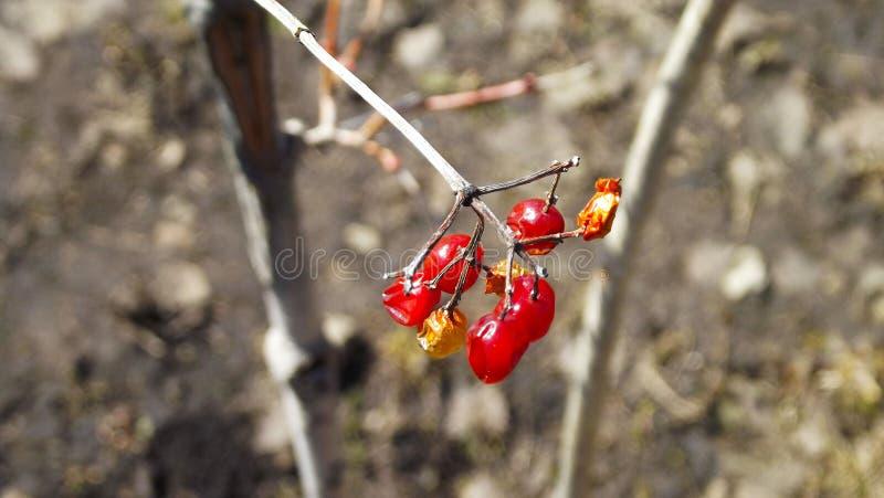 Bacche di viburno su un ramo fotografie stock