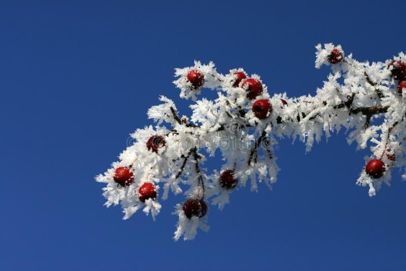 Bacche in inverno immagini stock