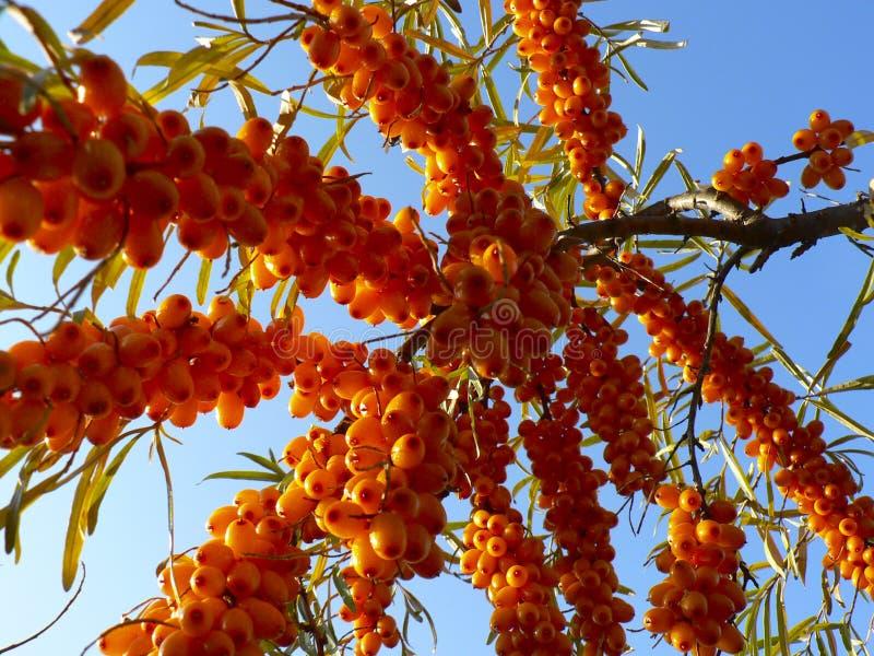 Bacche luminose dell'olivello spinoso su un ramo fotografia stock