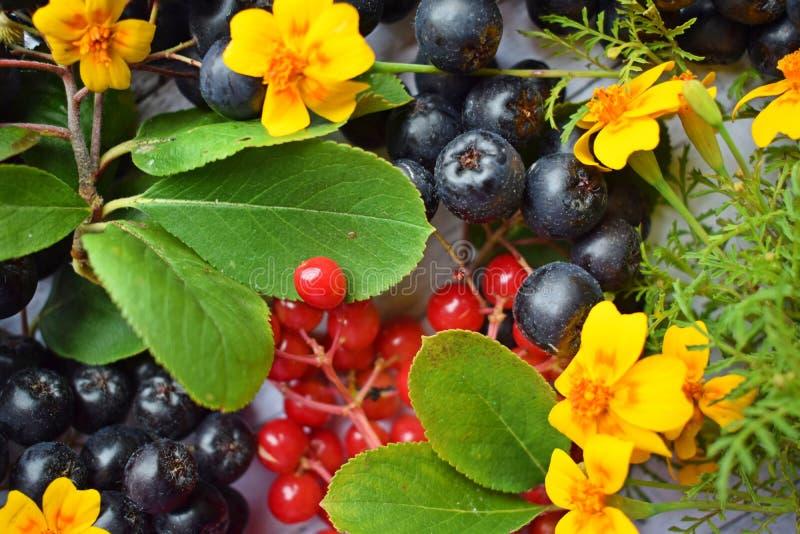 Bacche mature del chokeberry nero e del viburno rosso fotografia stock libera da diritti