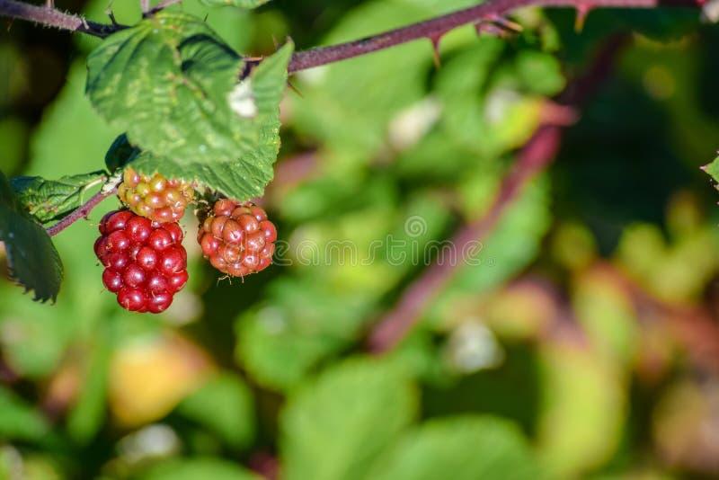 Bacche rosse che coltivano pendere selvaggio da un albero fotografie stock libere da diritti
