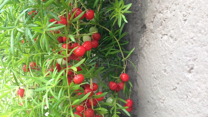 Bacche rosse contro calcestruzzo fotografie stock libere da diritti