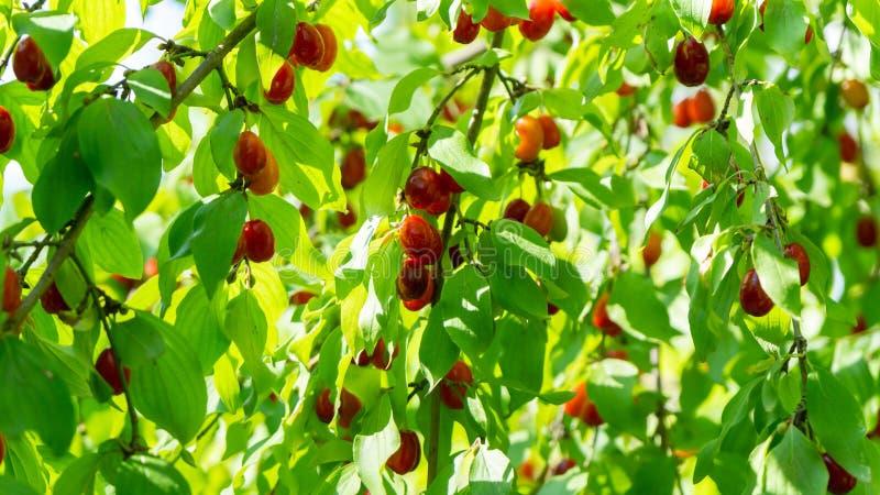 Bacche rosse del corniolo selvatico su un fondo di fogliame e di luce solare immagine stock libera da diritti