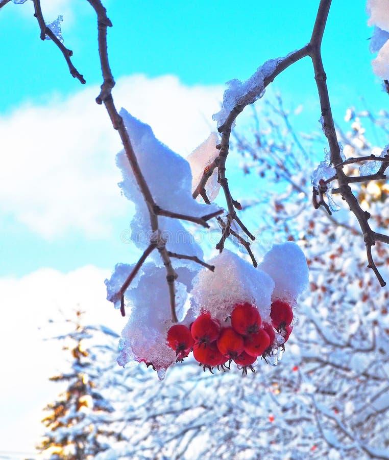 Bacche rosse del cratego su un ramo coperto di neve e di ghiaccio sul fondo del cielo blu Priorità bassa di inverno Fine in su immagine stock