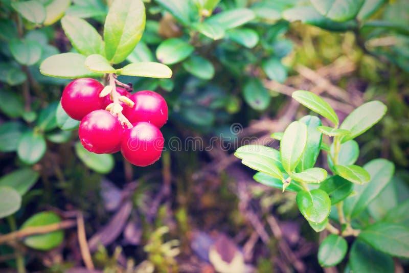 Bacche rosse del mazzo del primo piano selvaggio dell 39 uva for Disegni del mazzo del secondo piano