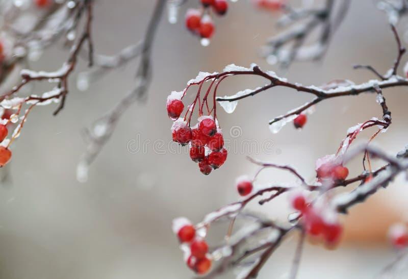 Bacche rosse del viburno nel giardino coperto nelle gocce di pioggia e fotografia stock libera da diritti