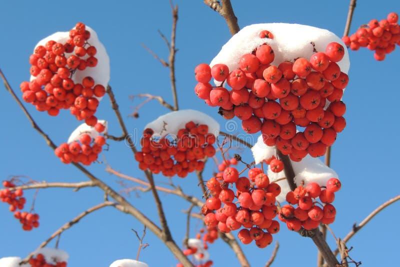 Bacche rosse della cenere di montagna in neve contro il cielo fotografie stock libere da diritti