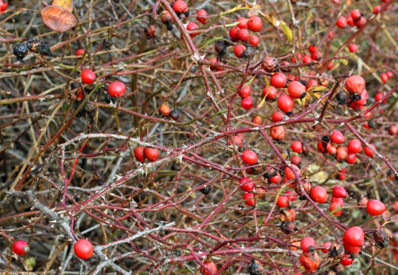 Bacche rosse di un roseto in autunno in pieno delle spine for Bacche rosse nomi