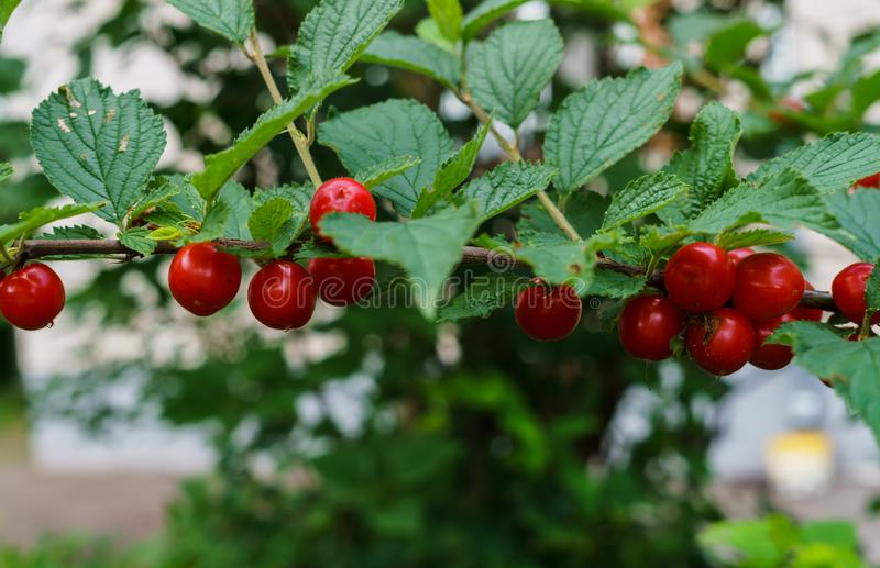 Bacche rosse di una ciliegia felted sui rami Piccolo bacche della ciliegia fotografie stock libere da diritti