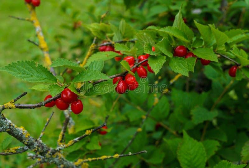 Bacche rosse di una ciliegia felted sui rami Piccolo bacche della ciliegia fotografia stock libera da diritti
