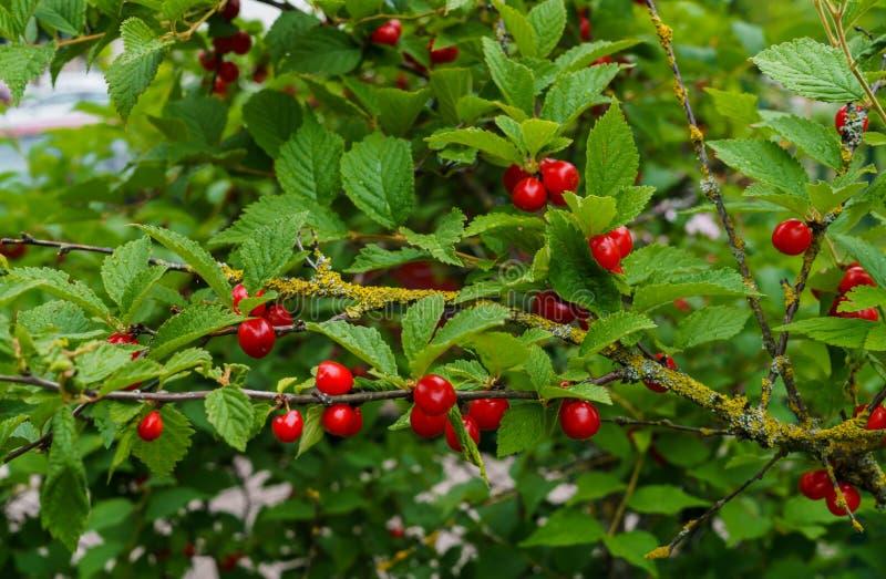 Bacche rosse di una ciliegia felted sui rami Piccolo bacche della ciliegia immagine stock libera da diritti