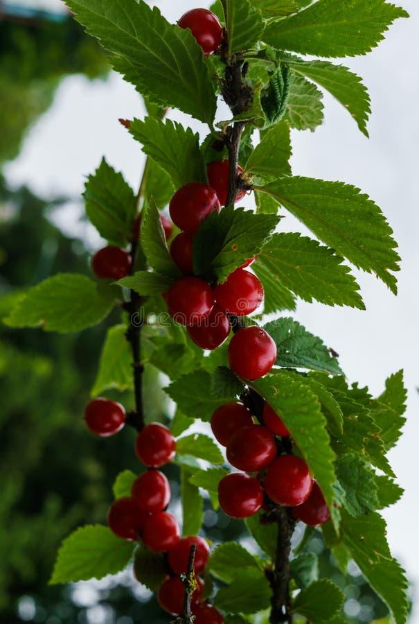 Bacche rosse di una ciliegia felted sui rami Piccolo bacche della ciliegia fotografie stock