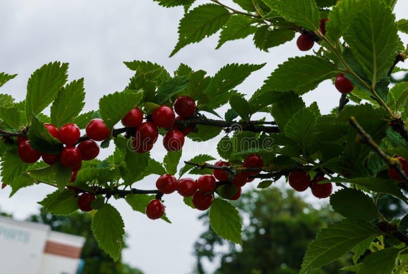 Bacche rosse di una ciliegia felted sui rami Piccolo bacche della ciliegia fotografia stock