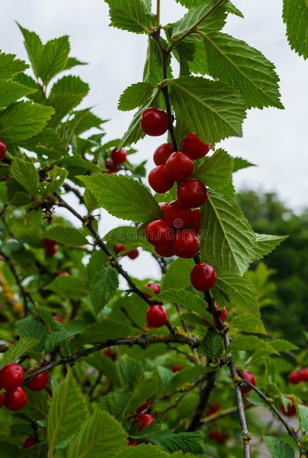Bacche rosse di una ciliegia felted sui rami Piccolo bacche della ciliegia immagini stock libere da diritti