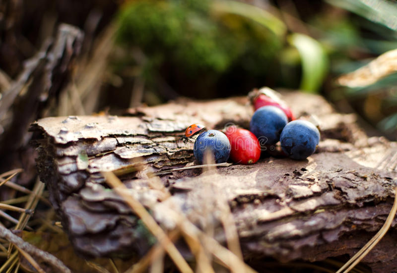 Bacche rosse e blu su un vecchio ceppo fotografia stock libera da diritti