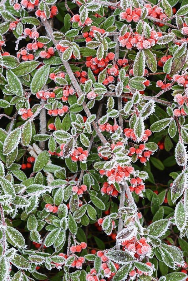 Bacche rosse nel gelo del hoar immagini stock libere da diritti