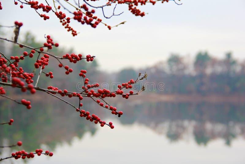 Bacche rosse nel legno nell'inverno fotografie stock libere da diritti