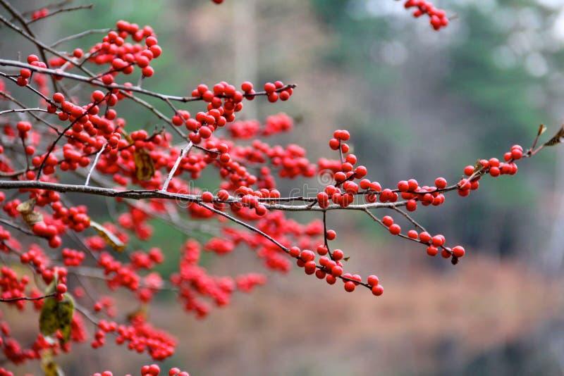 Bacche rosse nel legno nell'inverno fotografia stock libera da diritti