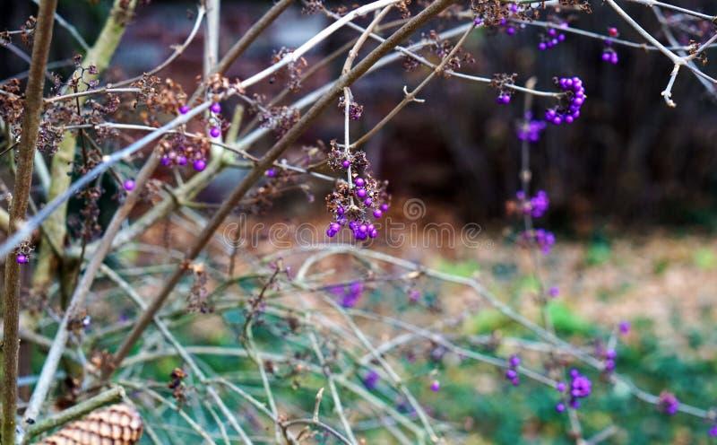 Bacche viola fotografia stock