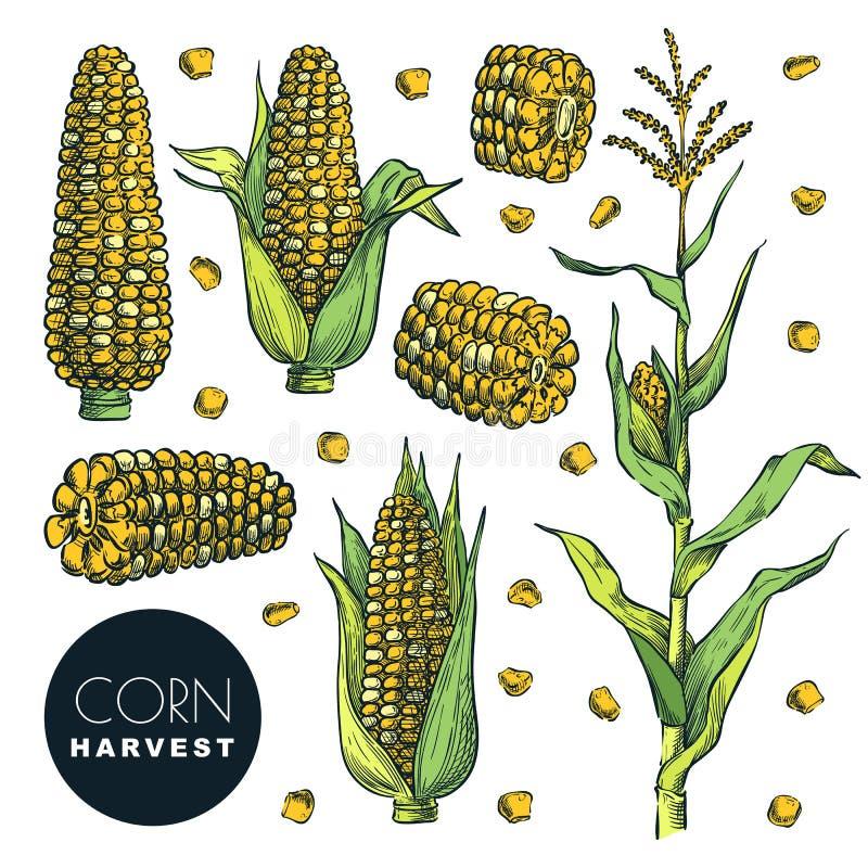 Bacelos de milho, em grão, isolados sobre fundo branco Ilustração de vetor de esboço Agricultura cerealífera, colheita de milho n ilustração royalty free