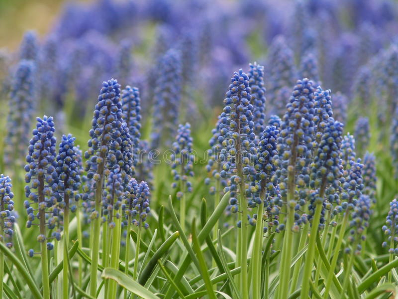 Bacground bleu de muscari photographie stock libre de droits