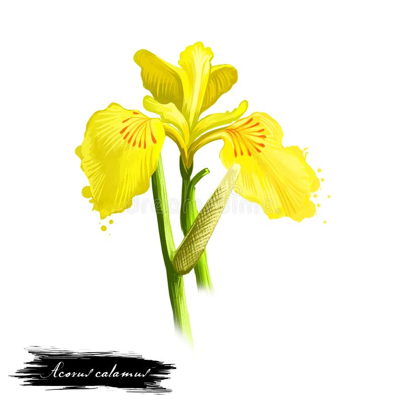 Bach - ayurvedic ört för Acoruscalamus, blomma digital konstillustration med text som isoleras på vit Sund organisk brunnsortväxt royaltyfri illustrationer