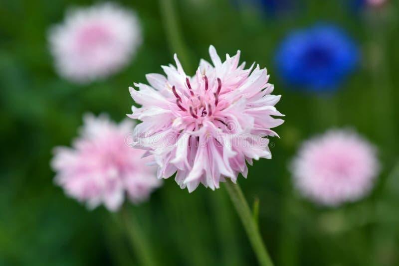 Bachelor& x27; vildblomma för s-knapprosa färger i blommafält fotografering för bildbyråer
