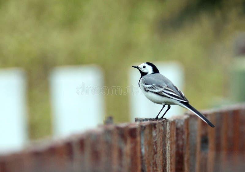 Bachstelze auf dem kleinen Vogel des Zauns lizenzfreie stockbilder