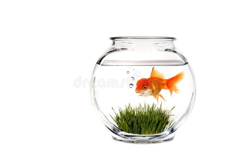 Bacia do Goldfish da fantasia imagem de stock