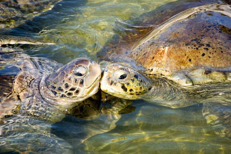 Baciare delle tartarughe fotografia stock