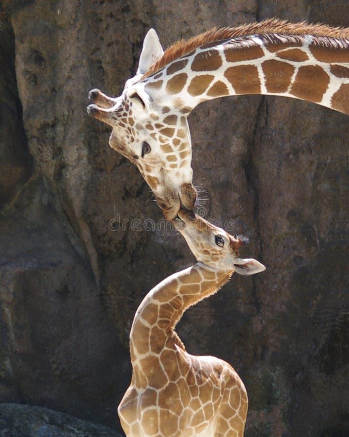 Baciare le giraffe immagine stock