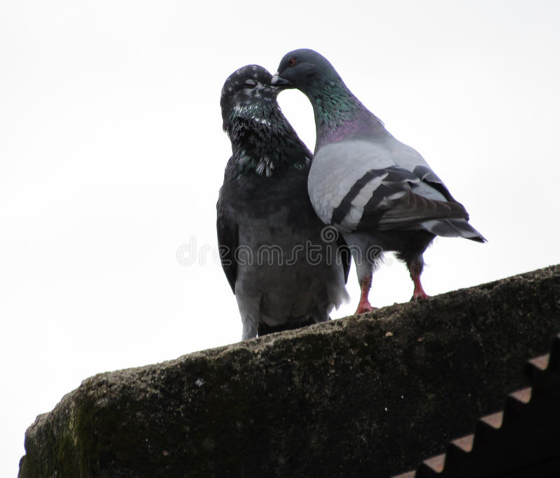 Bacio dei piccioni immagine stock libera da diritti