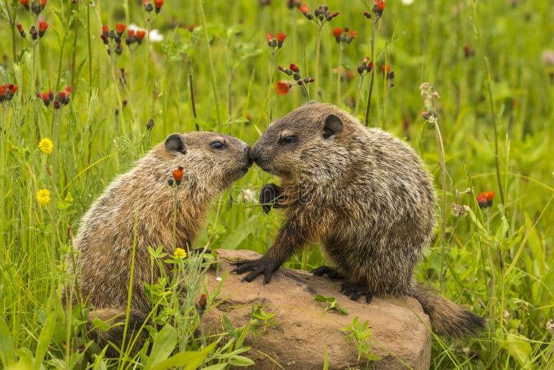 Bacio della marmotta nordamericana fotografie stock