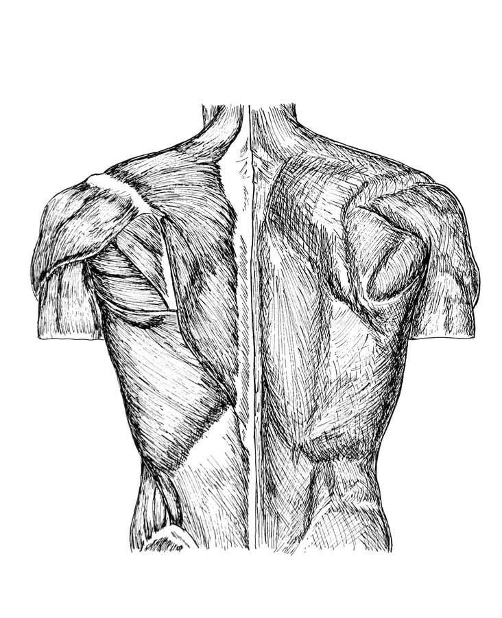 Download Back stock illustration. Illustration of educational, human - 3811640