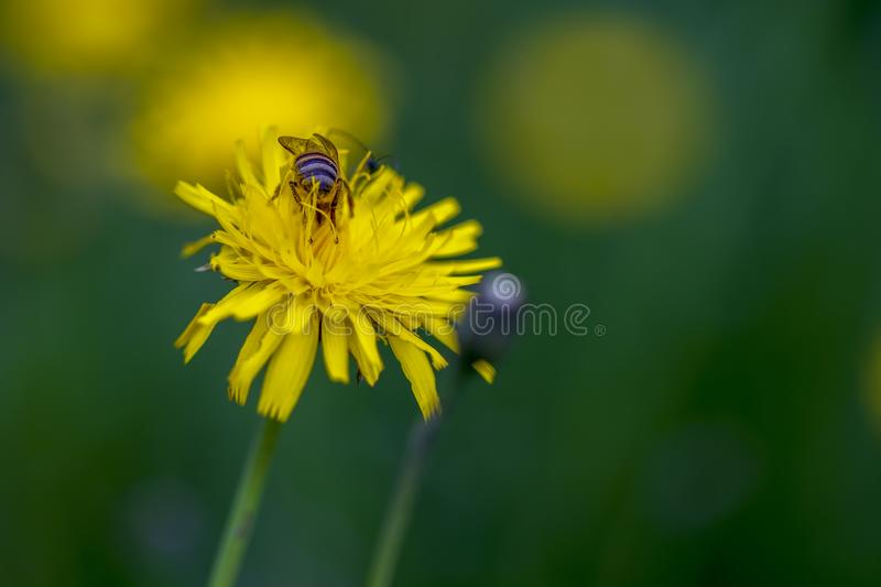 Back of a bee feeding on a dandelion flower stock image