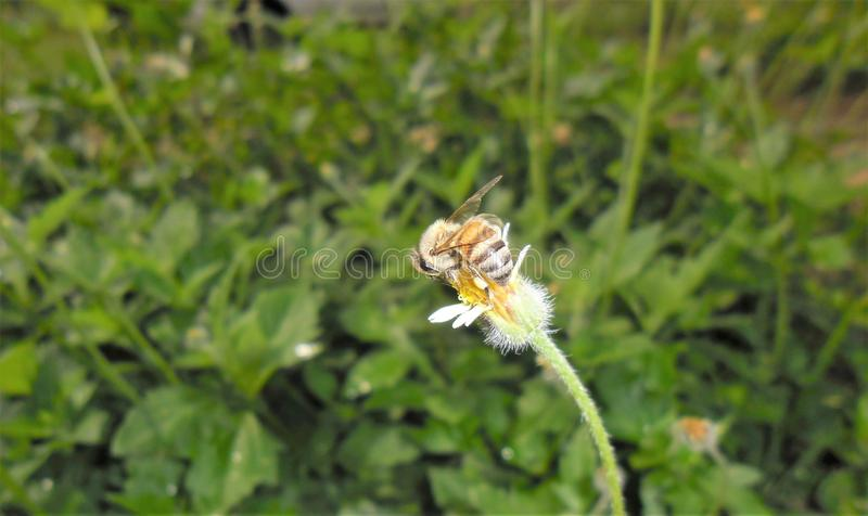 Back of bee. A jealous bee, bravely protecting its food from the focus of the camera,turning its back on the photographs at all times as a sign of power, what a stock images