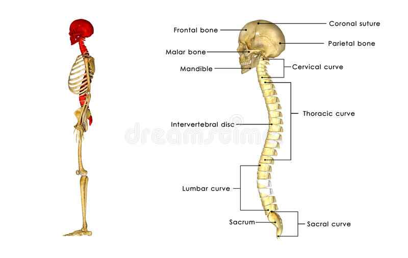 Back Bone With Skull Side View Stock Illustration Illustration Of