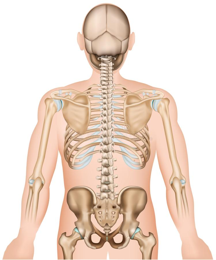 Back bones ribs and hip 3d medical vector illustration. Eps 10 royalty free illustration