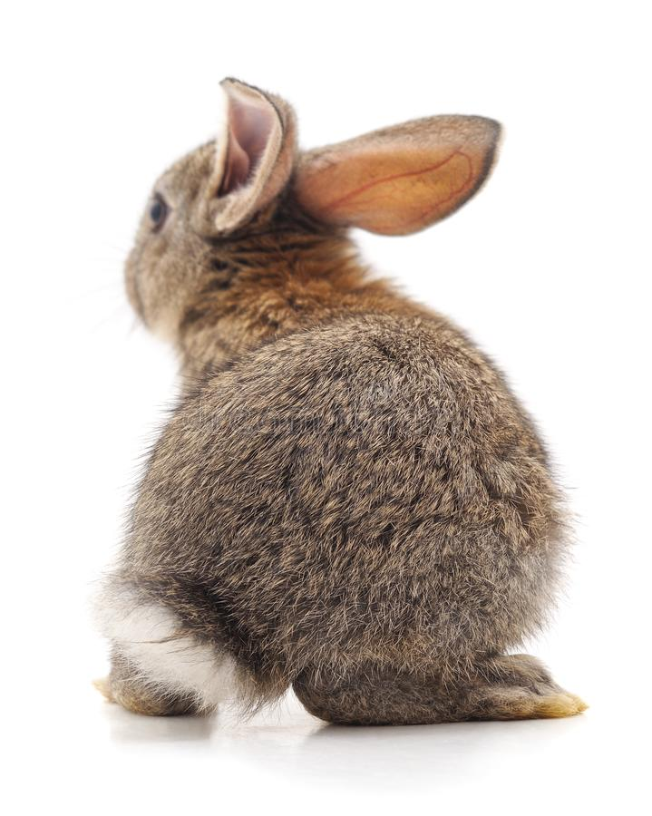 The back of a brown rabbit. Isolated on a white background royalty free stock photography