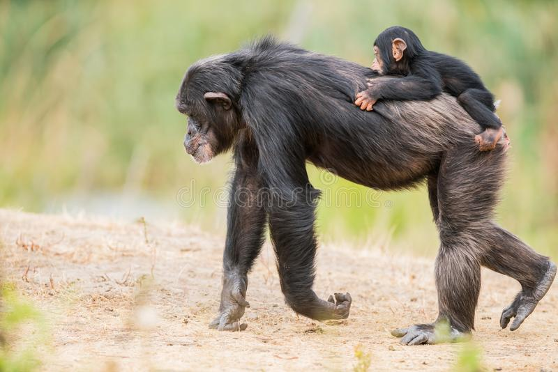 Common chimpanzee with a baby chimpanzee royalty free stock photos